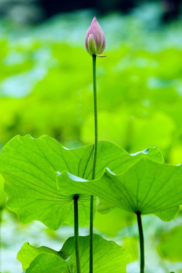 Lotus Bud Stock Photos