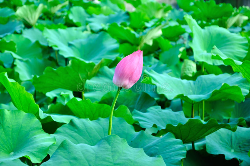 A lotus bud stock image