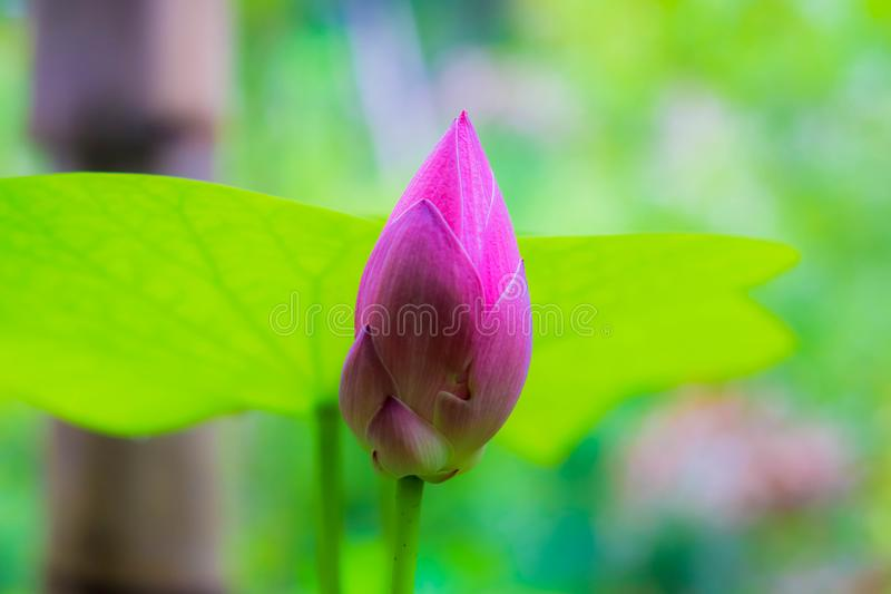 Lotus bud in my garden royalty free stock photography