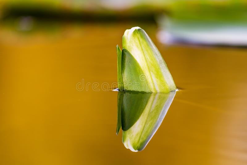 Lotus bud in water royalty free stock photos