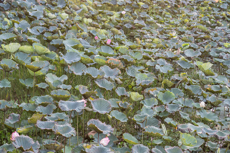 Lotus chez Thale Noi Waterfowl Reserve images stock