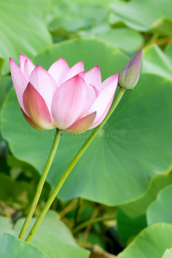 Download Lotus stock image. Image of blossom, seedpod, blooming - 32899851