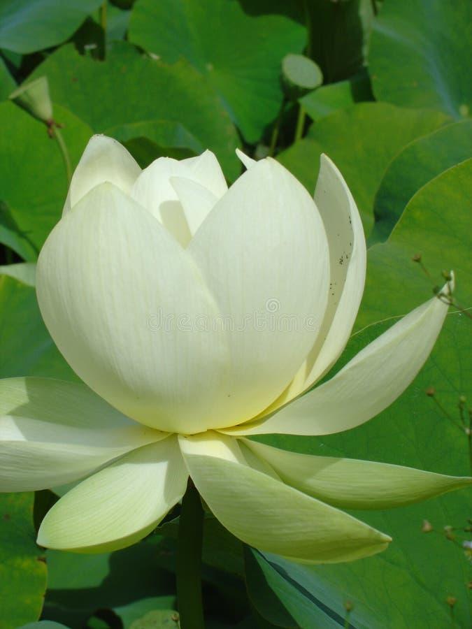 Lotus closeup royalty free stock photos