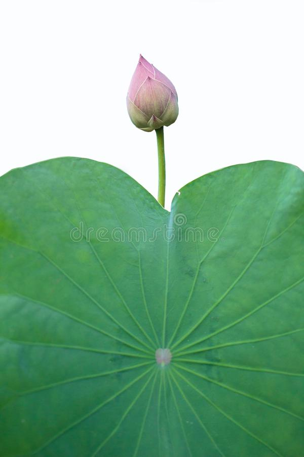 Lotus com o significado do budismo fotografia de stock