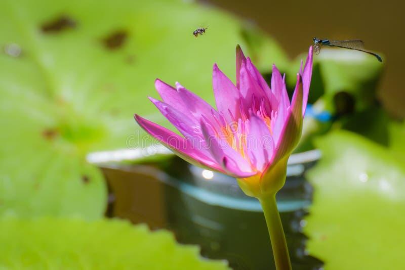 Lotus con gli insetti immagine stock libera da diritti