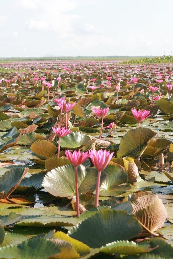 Lotus cor-de-rosa em um lago foto de stock