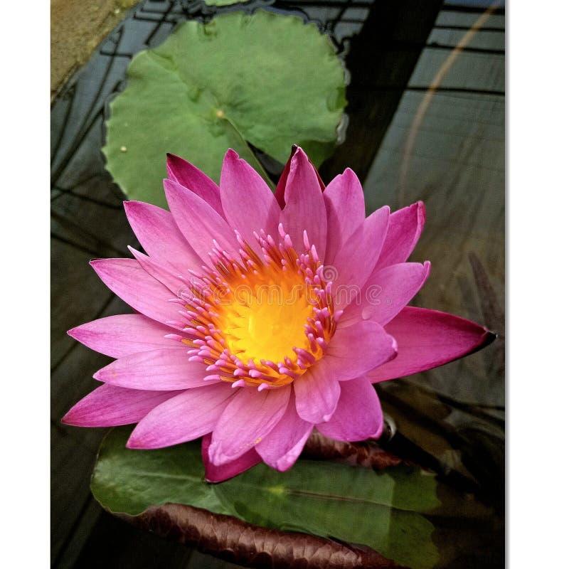 Lotus cor-de-rosa na associação, lótus cor-de-rosa na manhã, lótus cor-de-rosa na água foto de stock royalty free