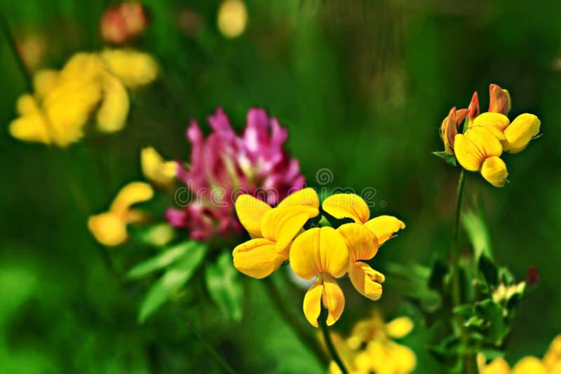 Lotus corniculatus. Birdfoot Trefoil & x28;Lotus corniculatus& x29;.Macro from a yellow flower& x28;selective focus& x29 stock photos
