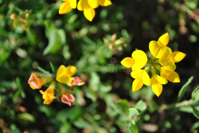 Lotus corniculatus common bird`s foot trefoil or deervetch, eggs and bacon, bird`s foot trefoil yellow flowers blooming on soft. Blurry grass background, close royalty free stock photo