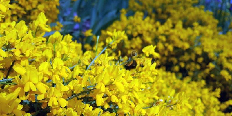 Lotus corniculatus. Common Birds-foot trefoil. Lotus corniculatus.Spring flowers in the garden stock photography