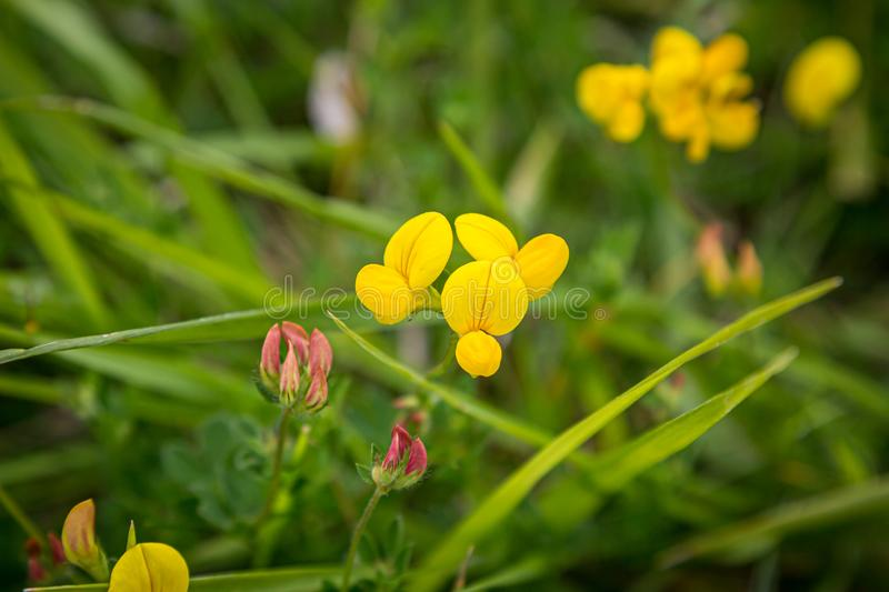 Lotus Corniculatus Flowers. A close up of Lotus Corniculatus flowers, also known as Eggs and Bacon, growing in the Sussex countryside royalty free stock photography