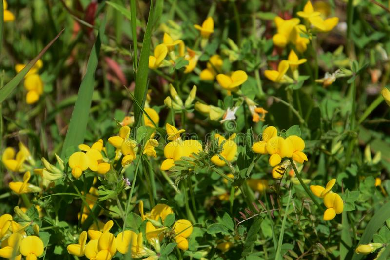 Lotus corniculatus flowers stock images