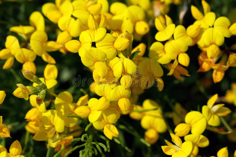 Lotus corniculatus var. corniculatus. Lotus corniculatus is a common flowering plant from the butterfly flower family stock photo