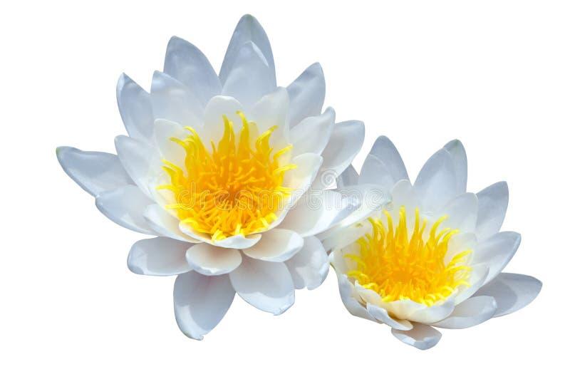 Lotus d'isolement photos libres de droits