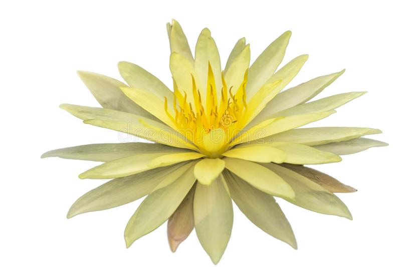 Lotus d'isolement sur le fond blanc images libres de droits