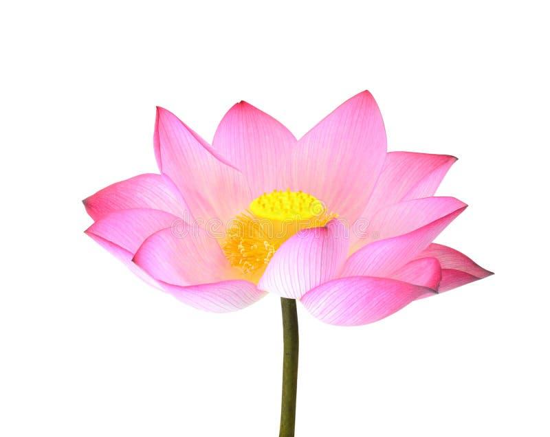 Lotus d'isolement sur le fond blanc images stock