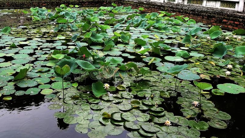 Lotus damm är gröna i sommar royaltyfria foton