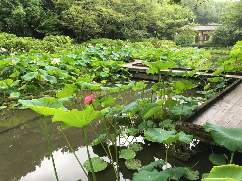Lotus damm i sommar royaltyfri bild
