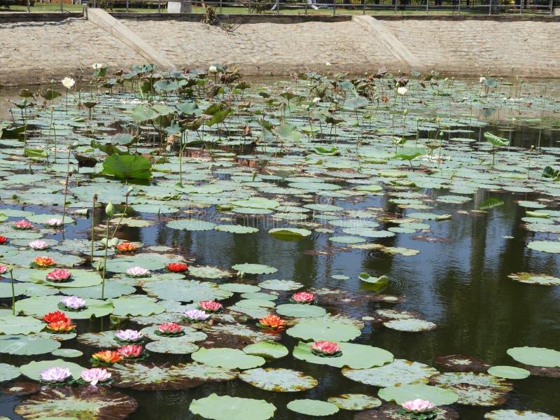 Lotus damm med lotusblommablommor fotografering för bildbyråer