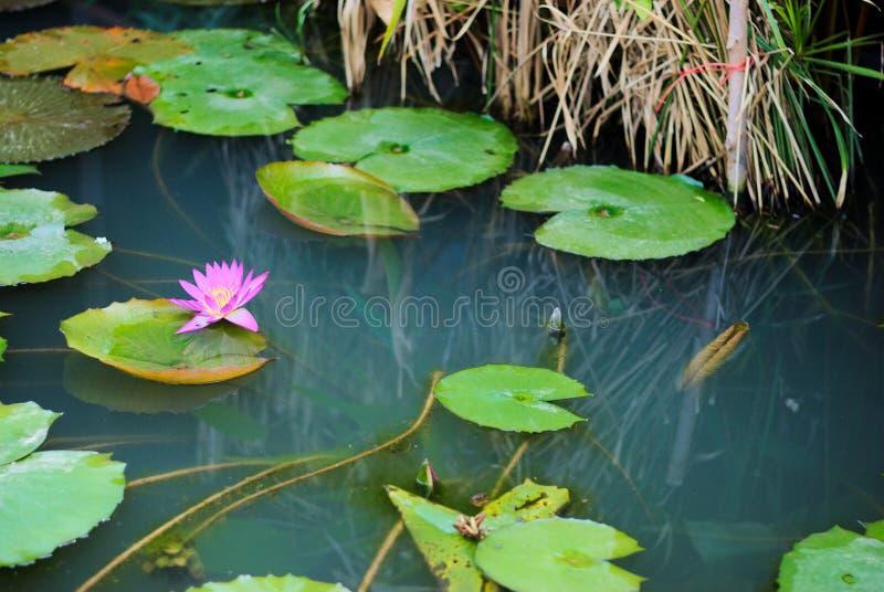 Lotus dans l'étang image stock