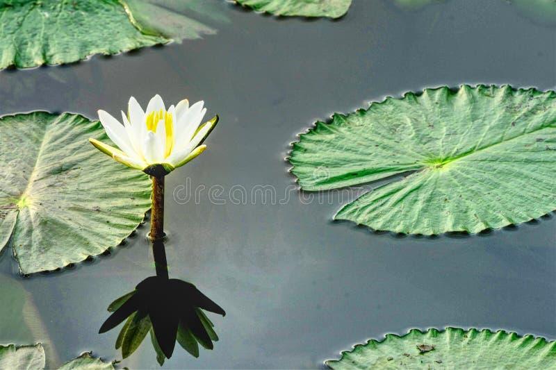 Lotus dans l'étang avec la réflexion et la copie textotent l'espace photos stock
