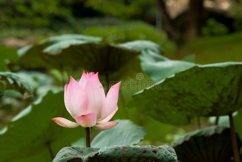 Lotus dans le jardin photographie stock