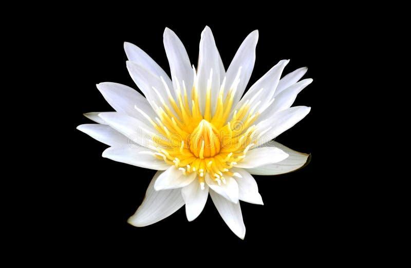 Lotus dat op zwarte achtergrond wordt geïsoleerd royalty-vrije stock afbeeldingen