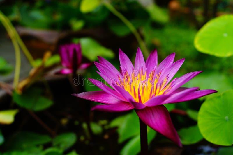 Lotus de beauté images libres de droits
