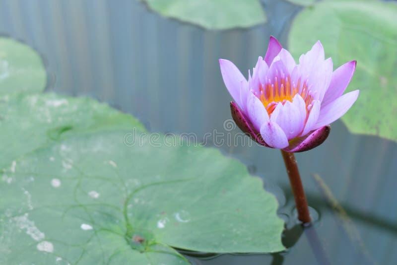 Lotus-de bloem met doorbladert stock foto's