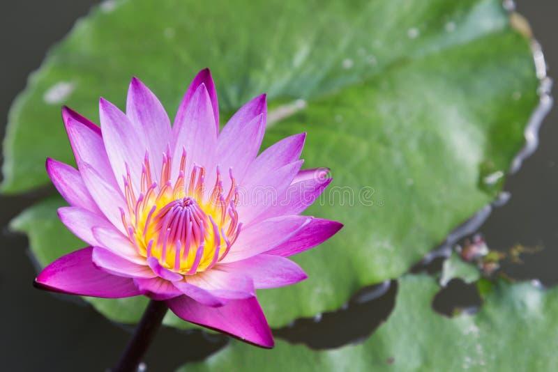 Lotus-de bloem of de waterleliebloem die met lotusbloem bloeien verlaten achtergrond in de vijver bij zonnige de zomer of de lent stock foto's