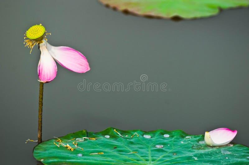 Lotus de chute photos libres de droits