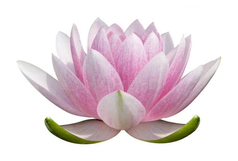 lotus de fleur image libre de droits