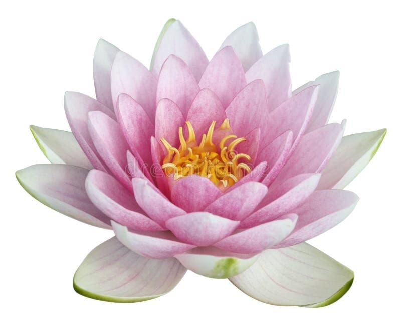 lotus de fleur photographie stock libre de droits