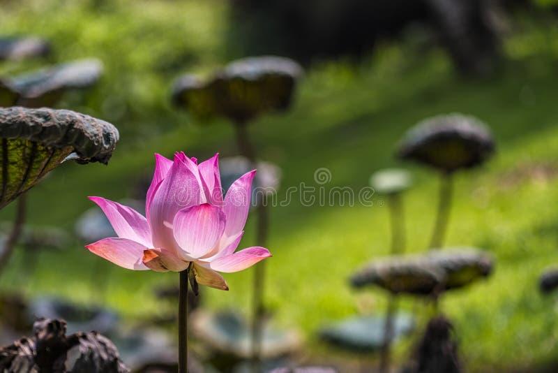 Lotus de fleur avec la feuille sous le soleil en été images stock