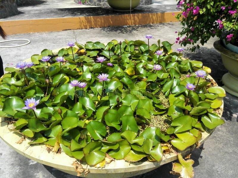 Lotus de floraison photos stock