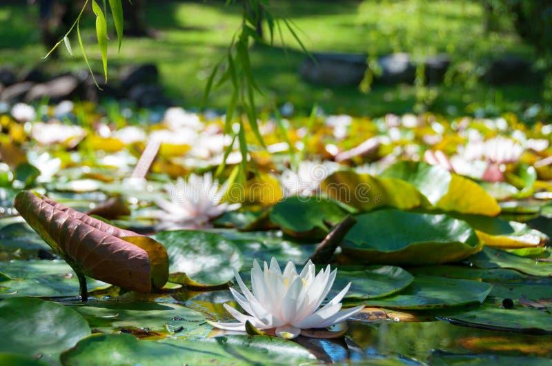 Lotus de floraison, fleur de nénuphar Scène d'étang de jardin, lac photos stock