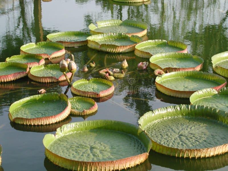 Lotus de flottement images libres de droits