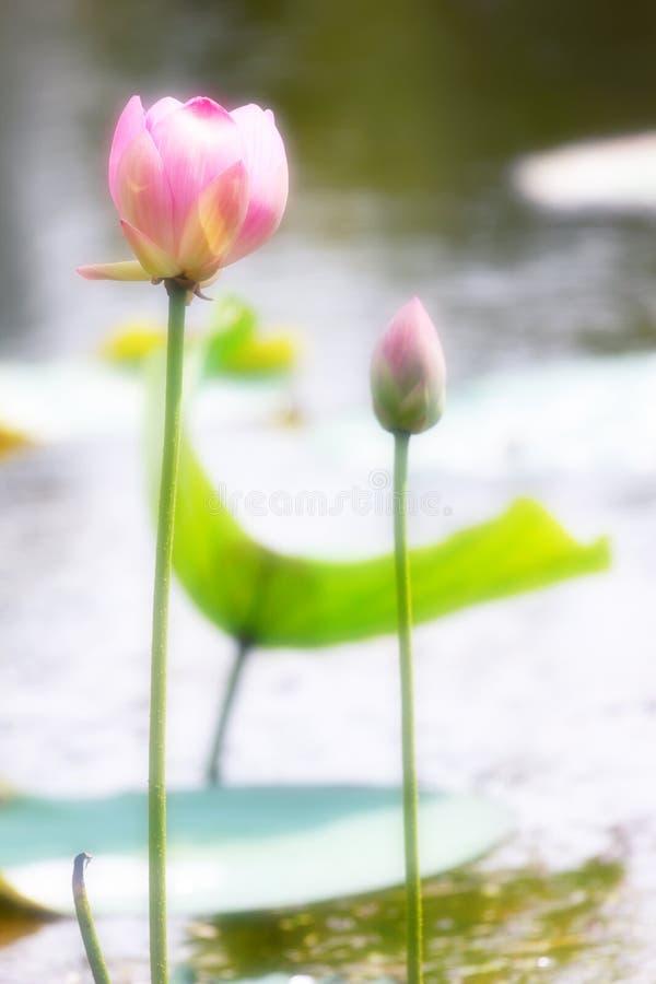 Lotus de l'eau photo stock
