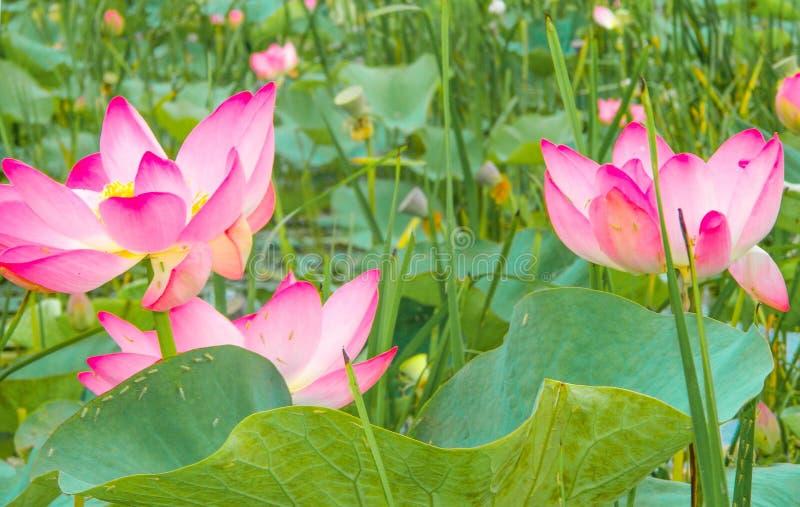 Lotus de lotos imagenes de archivo