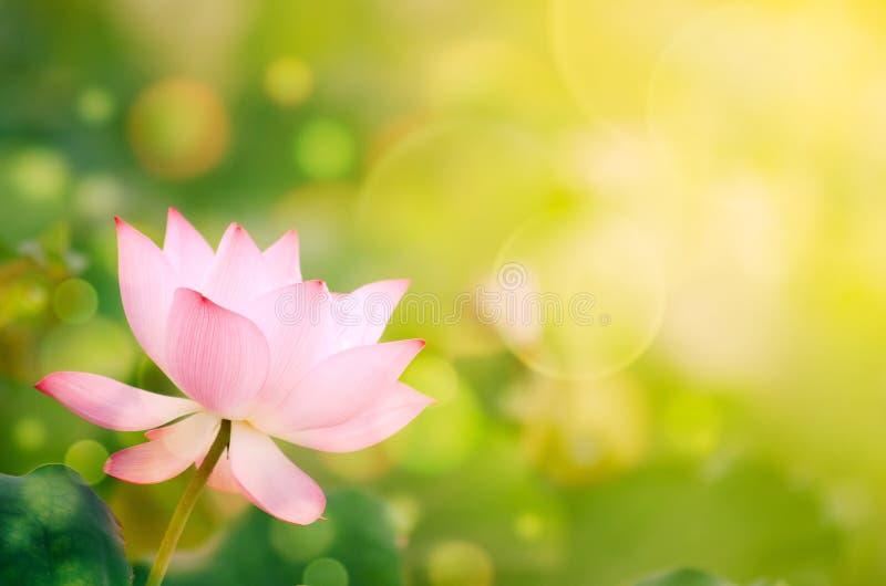 Lotus de matin photo stock