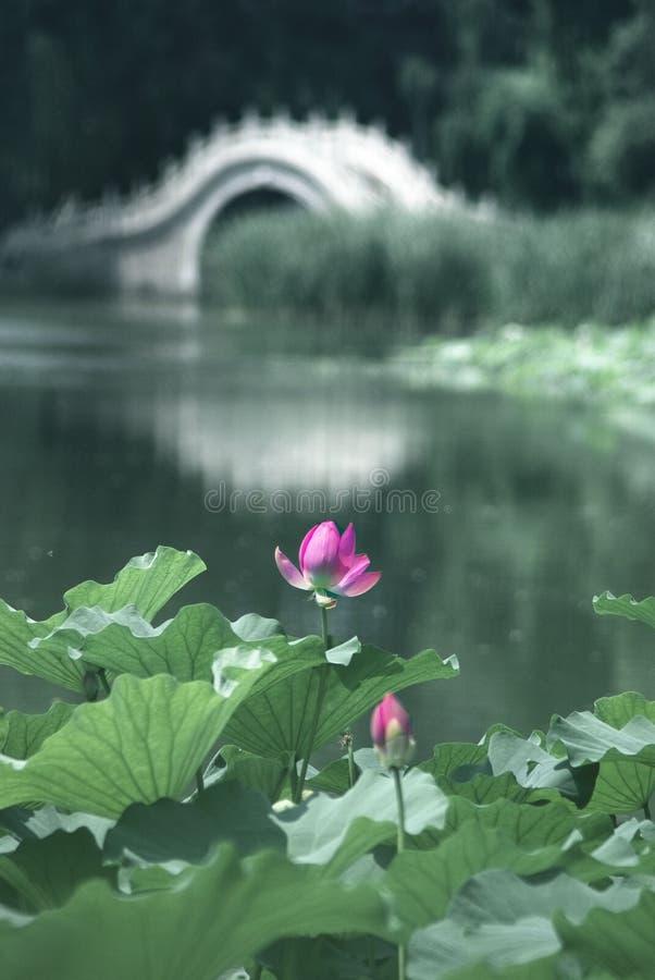 lotus de passerelle photos stock