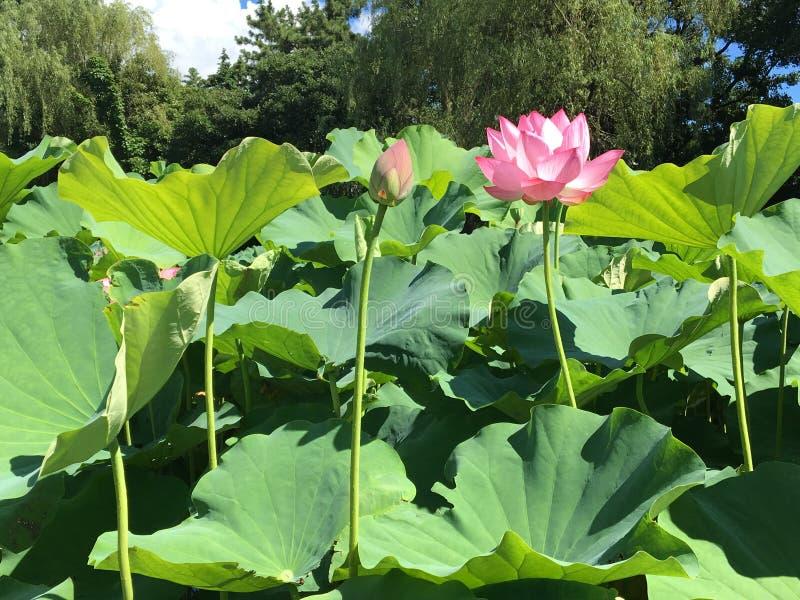 Lotus deux image stock
