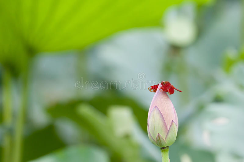 Lotus dragonfly stock photography