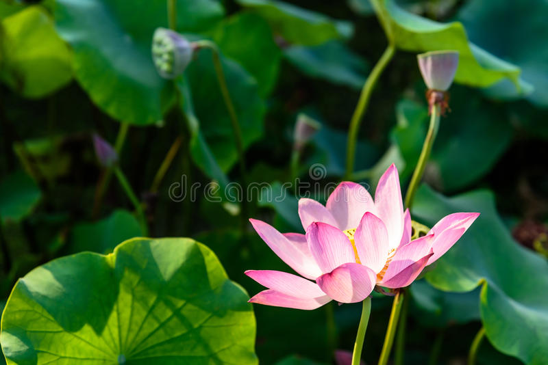 Lotus e a folha dos lótus fotografia de stock royalty free
