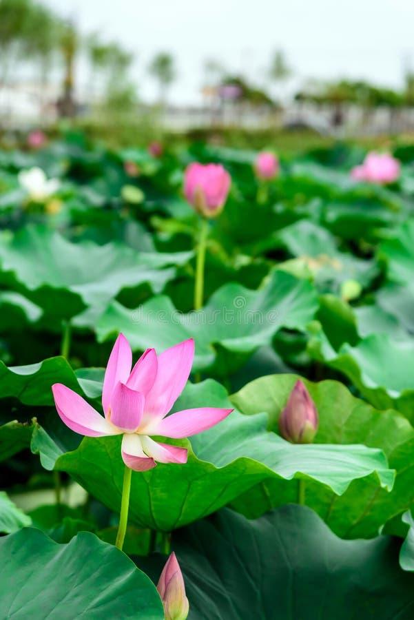 Lotus e a folha dos lótus imagens de stock royalty free