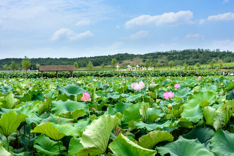 Lotus e a folha dos lótus imagem de stock royalty free