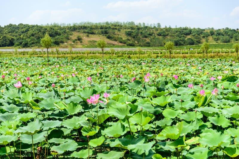 Lotus e a folha dos lótus imagem de stock