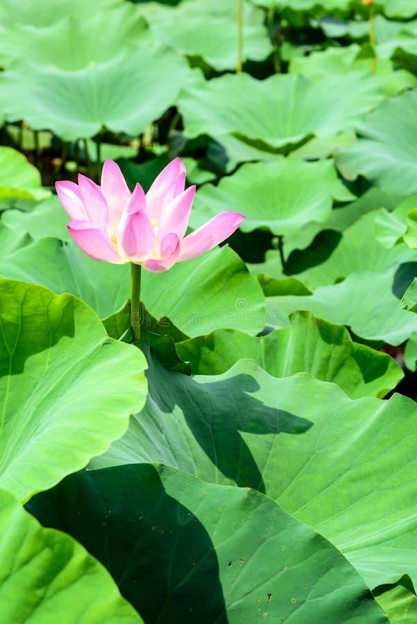 Lotus e a folha dos lótus fotografia de stock
