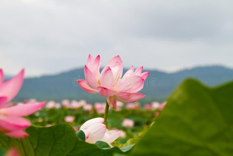 Lotus East som är sällsynt arkivfoton