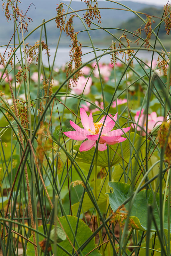 Lotus East som är sällsynt Djurliv, royaltyfria foton